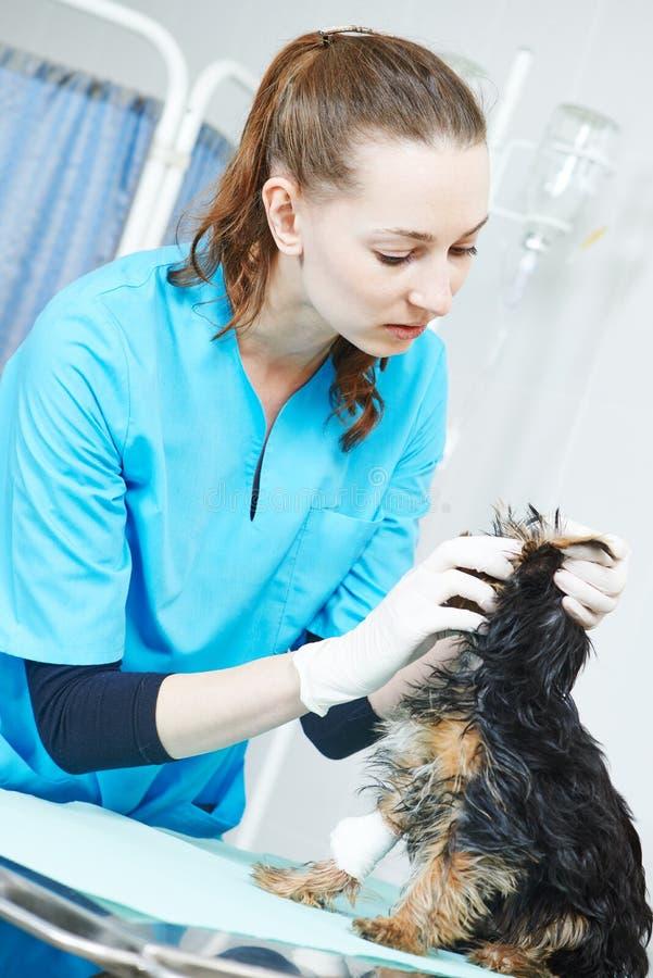 Зооветеринарный хирург обрабатывая собаку стоковые фото