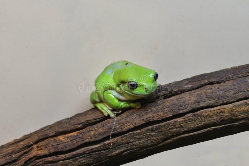 Зоология, зеленая лягушка стоковое фото