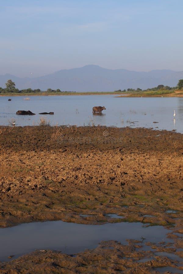 Зоопарк перемещения отключения воды ландшафта буйвола животный стоковое фото rf