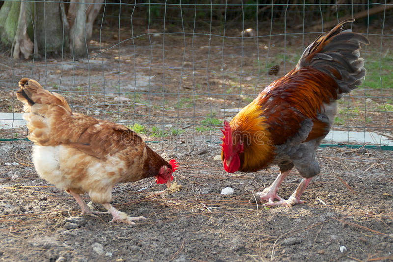 Золотая возглавленная еда петуха и курицы maran стоковое фото