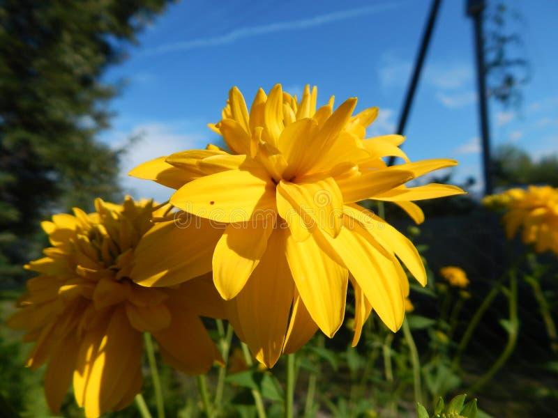 Золотая маргаритка в моем саде стоковые изображения rf