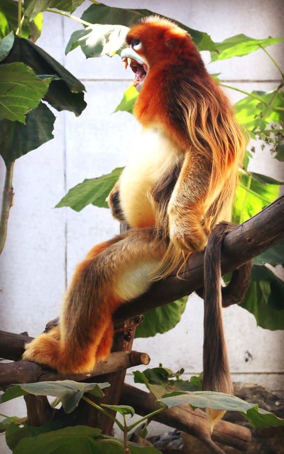 Золотая Оскорбление-обнюханная обезьяна стоковые изображения