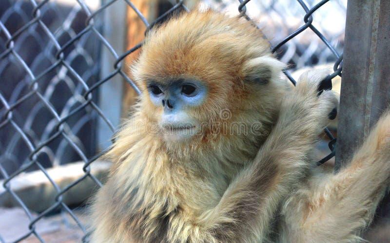 Золотая Оскорбление-обнюханная обезьяна стоковые изображения rf