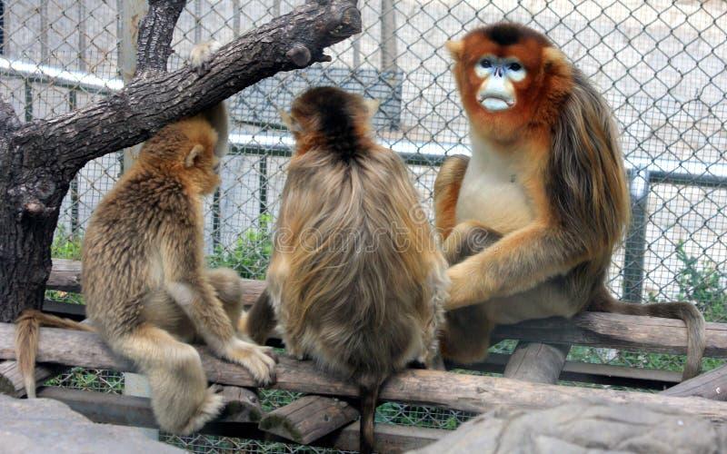 Золотая Оскорбление-обнюханная обезьяна стоковая фотография