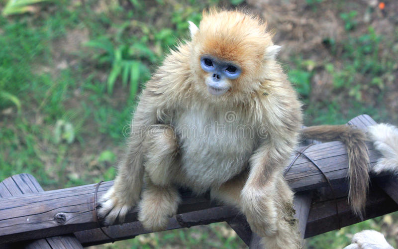 Золотая Оскорбление-обнюханная обезьяна стоковое изображение rf