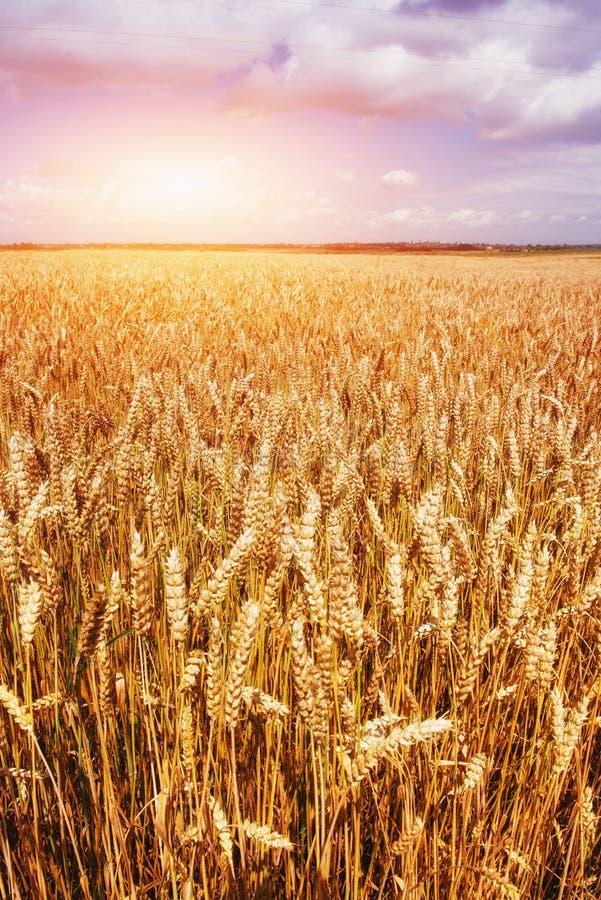 Золотая пшеница усика готовая быть сжатым Это фото сделанное внутри стоковая фотография rf
