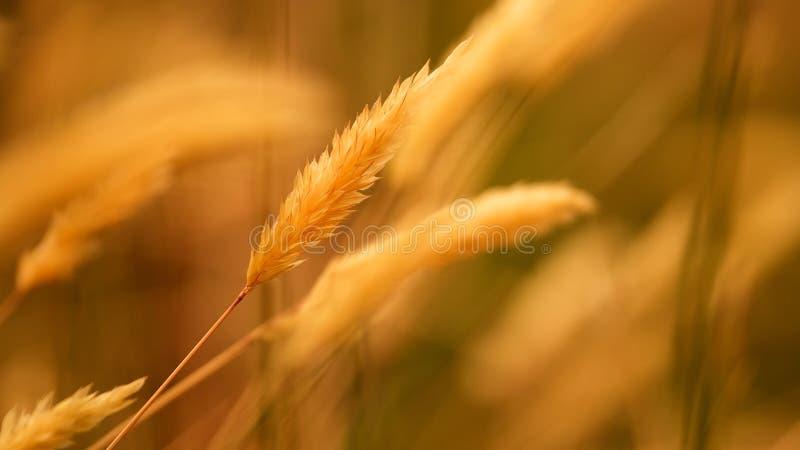 Золотая трава Брайна для предпосылки стоковые фотографии rf