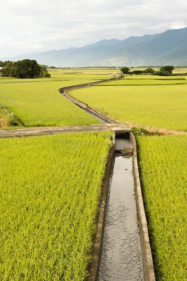 Золотая ферма неочищенных рисов стоковые изображения