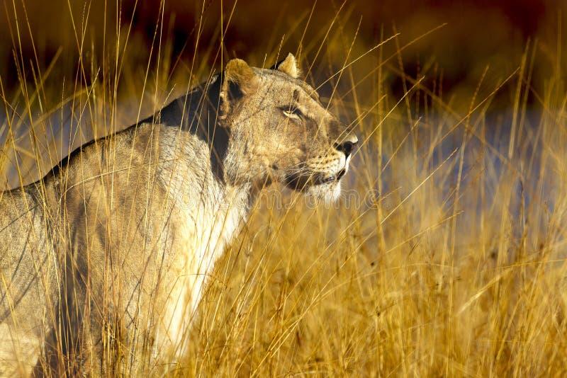 Золотая львица стоковые изображения rf