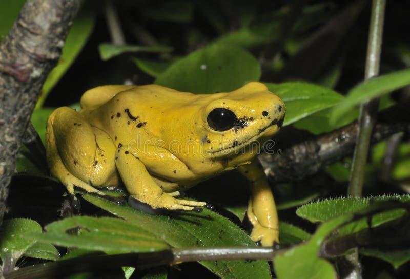 Золотая лягушка отравы стоковая фотография
