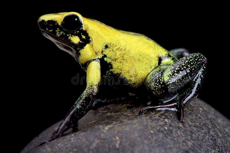 Золотая лягушка отравы (terribilis Phyllobates) стоковая фотография