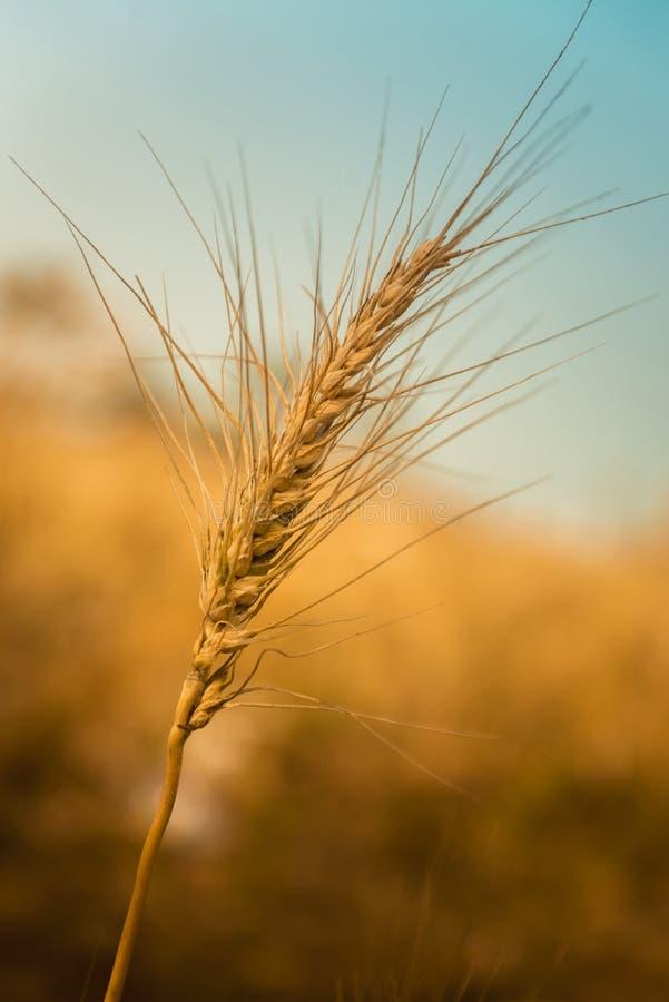 золотистая зрелая пшеница стоковая фотография
