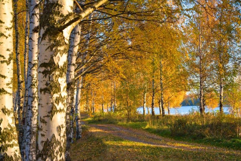 Золотистая осень Дорога леса в роще березы стоковое фото