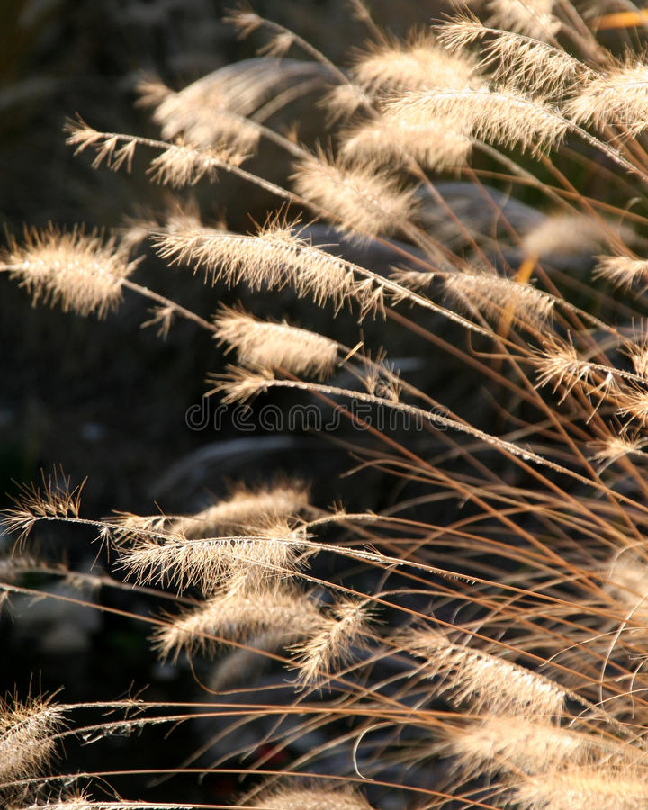 золотистое зерно стоковое изображение rf