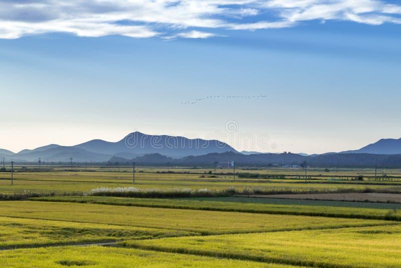 Золотистое поле риса стоковое изображение rf
