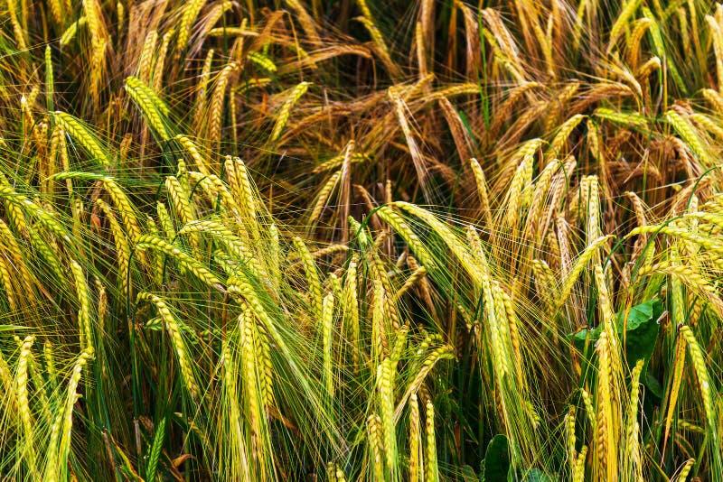 Золотое и зеленое поле ячменя стоковое изображение