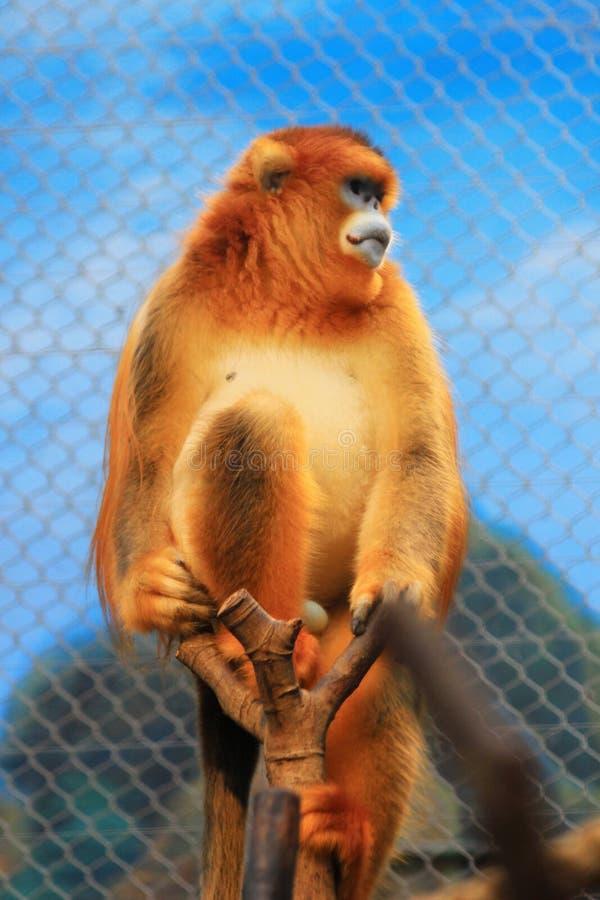 Золотое оскорбление обнюхало обезьяну на 2016 стоковое изображение