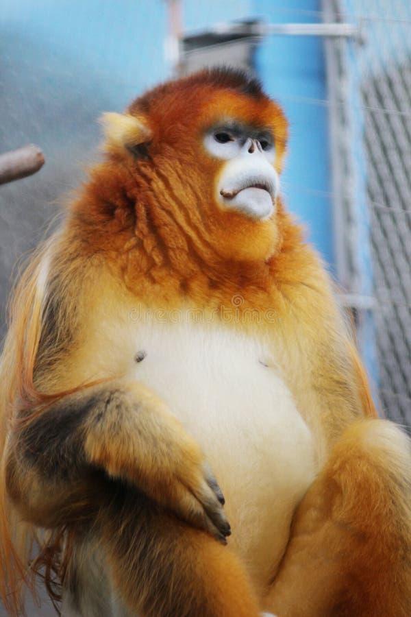 Золотое оскорбление обнюхало обезьяну на 2016 стоковые фотографии rf