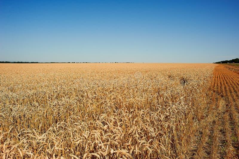 Золотое поле пшеницы и красивого неба стоковое изображение