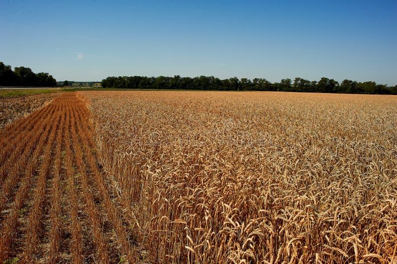 Золотое поле пшеницы и красивого неба стоковая фотография rf