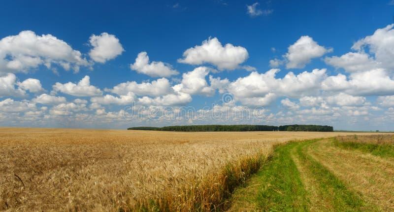 Золотое пшеничное поле, дорога до конца, голубое небо стоковое фото