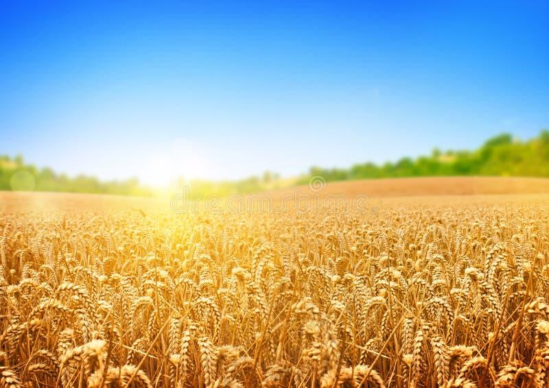 Золотое пшеничное поле стоковое изображение