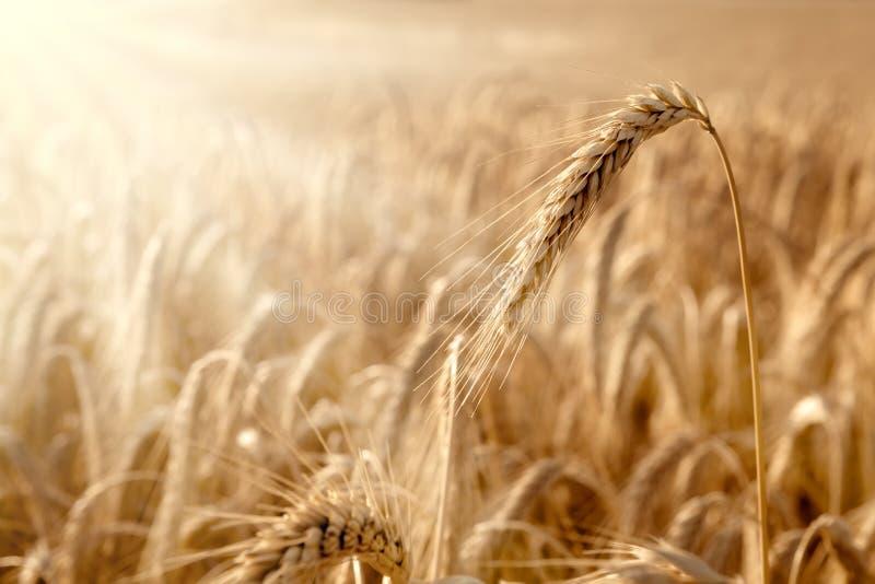 Золотое ухо в пшеничном поле стоковые фото