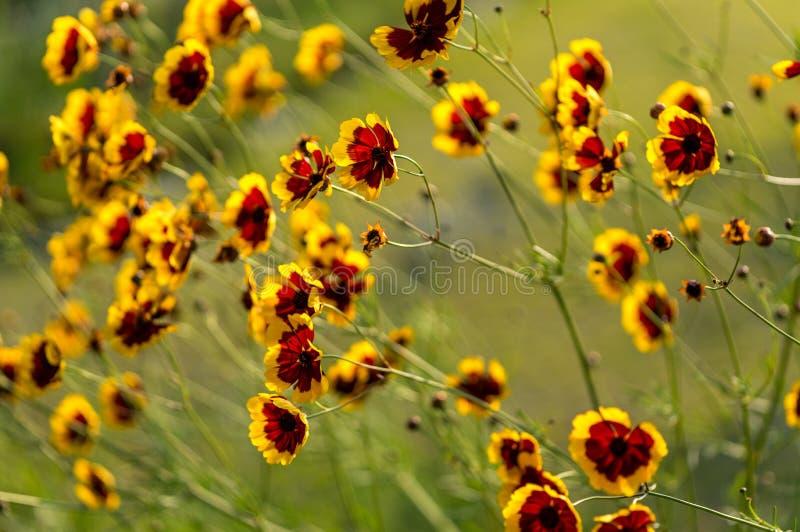 Золотое Corepsis стоковая фотография