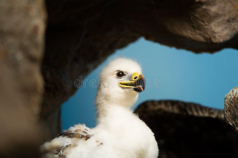 Золотое Eaglet стоковые изображения