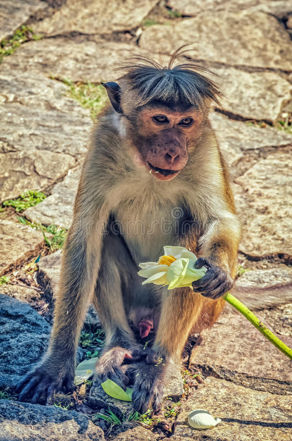 Золотой висок в обезьяне Dambulla стоковое фото rf