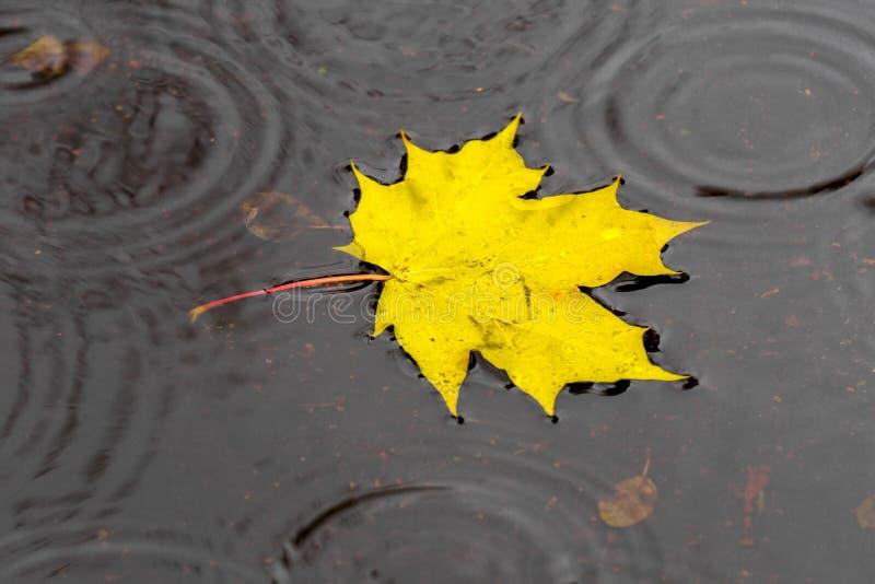 Золотой кленовый лист на воде стоковое фото rf