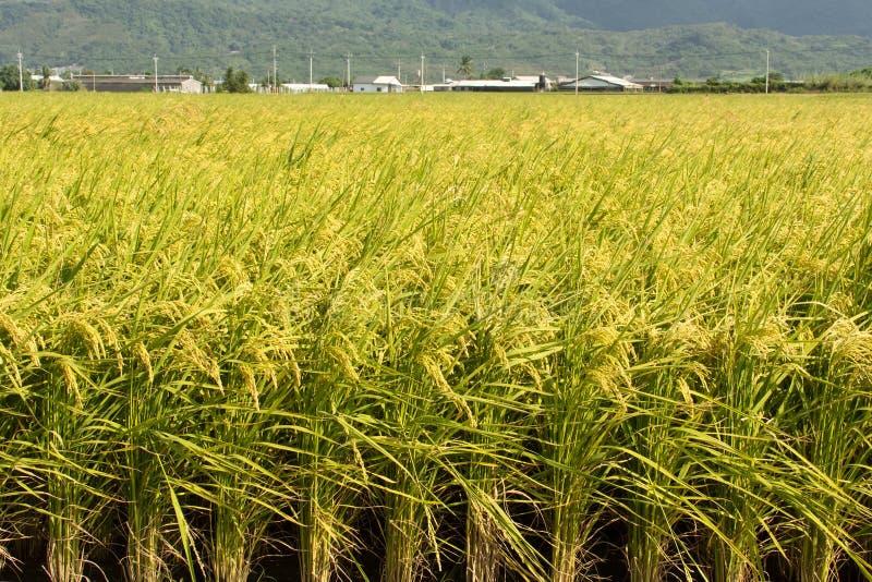 Золотой сельский пейзаж стоковые изображения rf