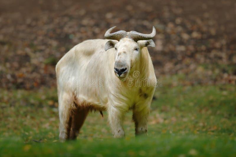 Золотой такин, bedfordi taxicolor Budorcas, коз-антилопа от Азии Большое животное в среду обитания природы Сцена живой природы от стоковая фотография