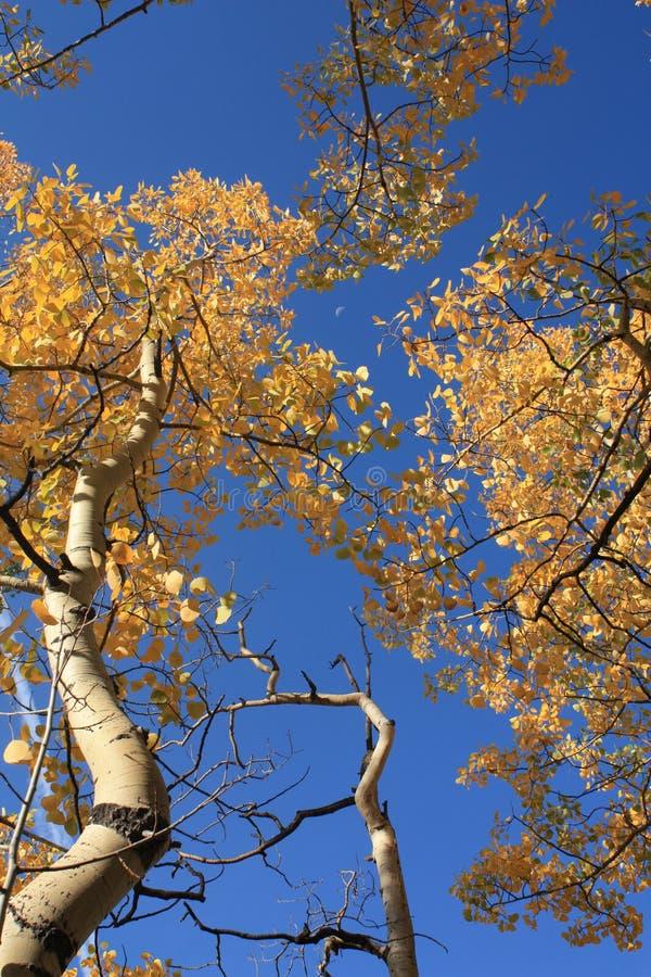 Золотой Aspen в Колорадо стоковые изображения rf