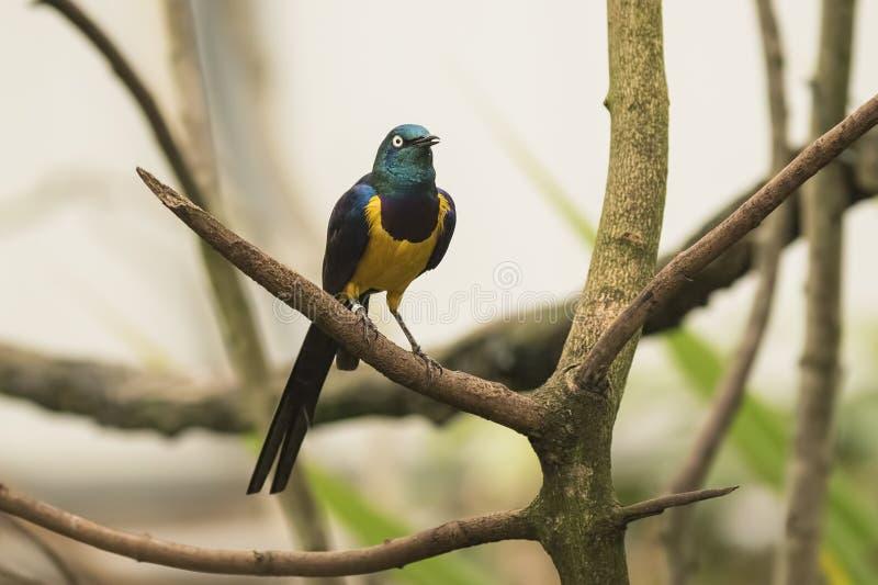 Золотой-breasted starling стоковое фото