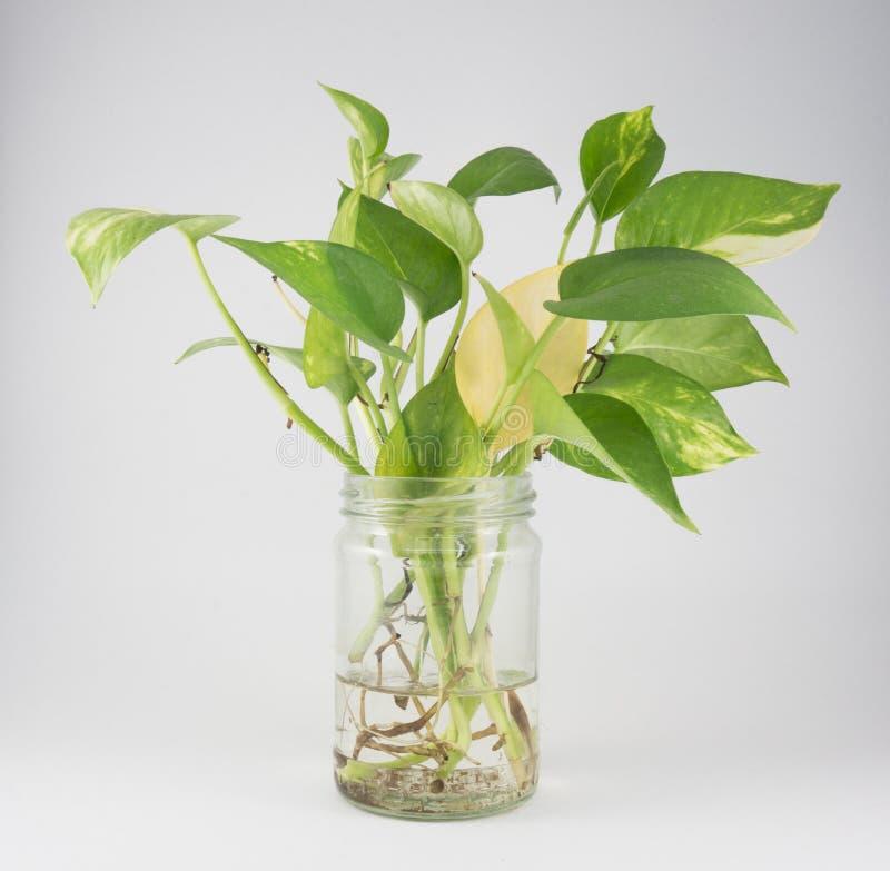 Золотой pothos в стеклянной бутылке стоковое изображение