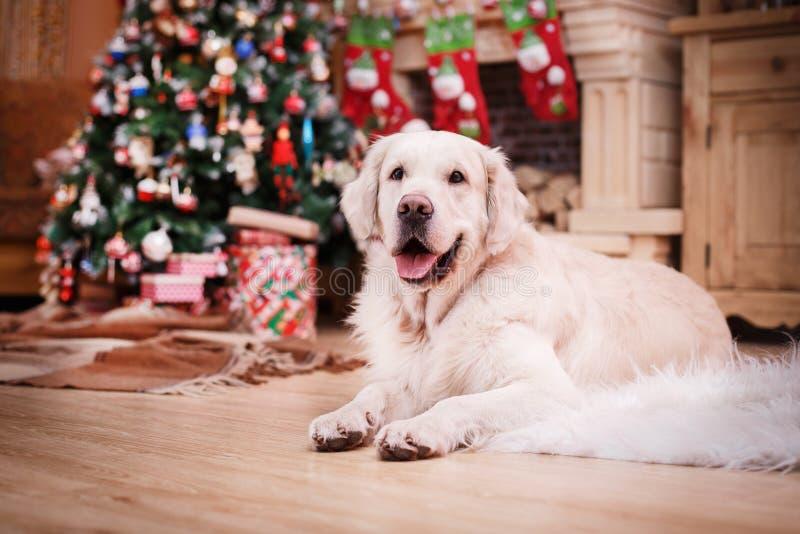 Золотой retriever, рождество и Новый Год стоковое изображение rf