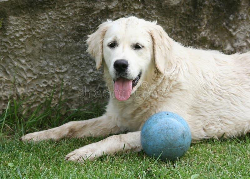 Download Золотой retriever стоковое фото. изображение насчитывающей собака - 33725686