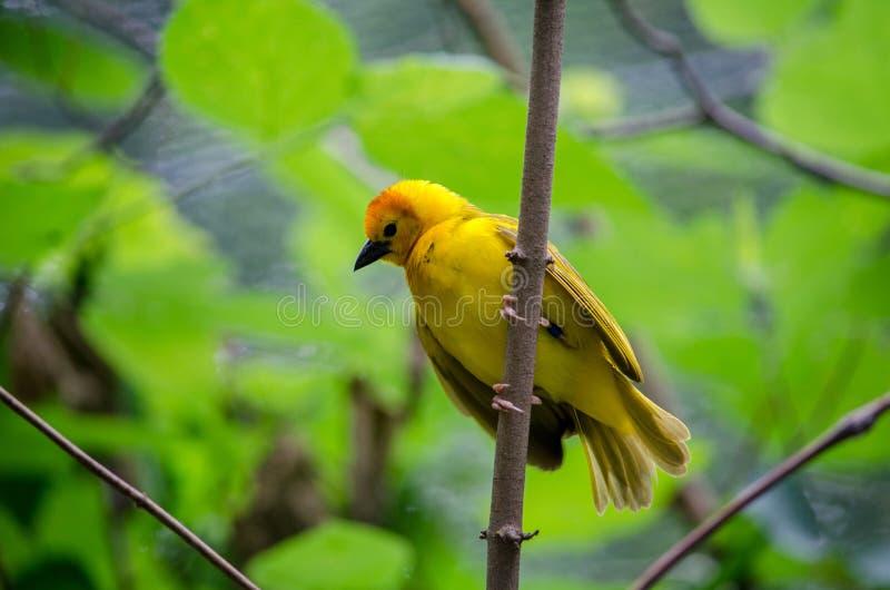Золотые виды птиц ткача taveta стоковые изображения rf