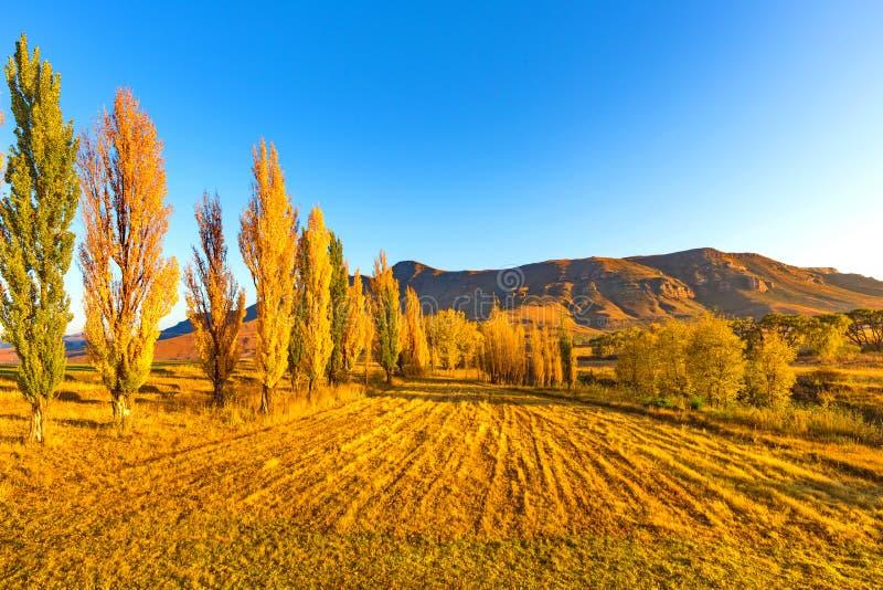 Золотые деревья на золотом часе стоковые изображения rf