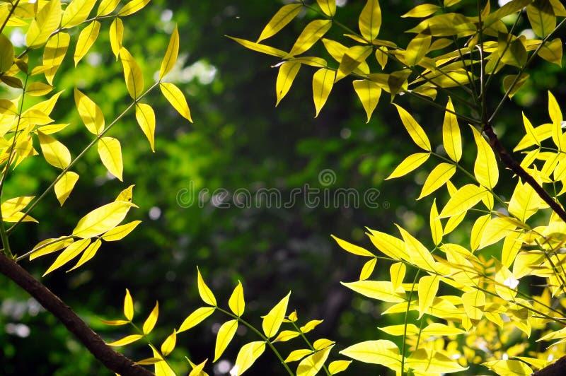 Золотые листья стоковая фотография