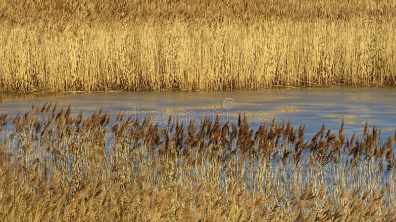 Золотые коричневые заросли тростника на солнечный зимний день стоковая фотография