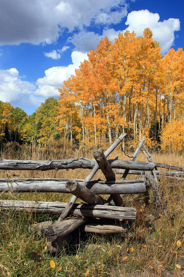 Золотые осины и деревянная загородка стоковое фото rf