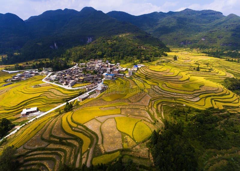 Золотые поля риса в горе стоковая фотография rf