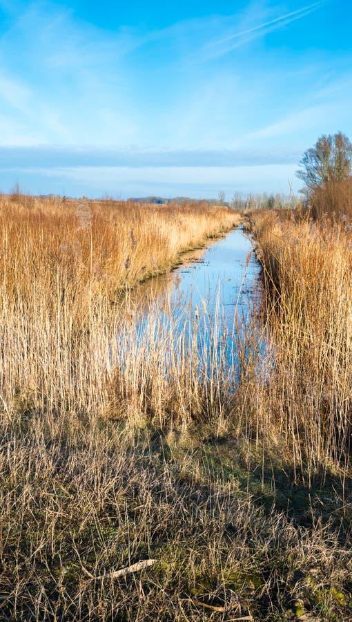 Золотые тростники вдоль малого потока стоковые фотографии rf