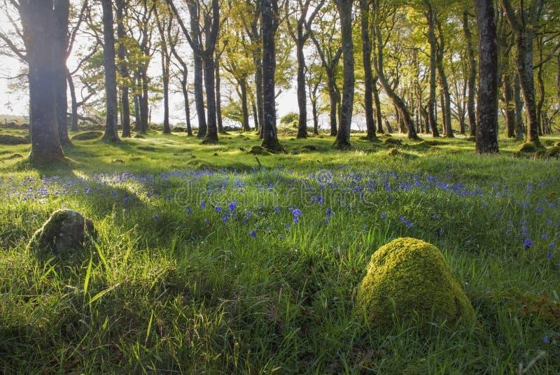 Золотые bluebells часа в зеленом мшистом лесе, Ирландии стоковое фото rf