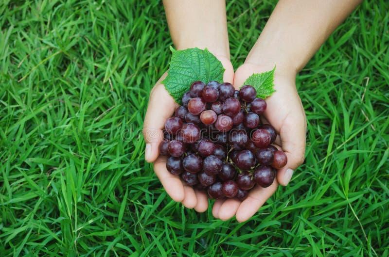зрелая виноградина в выставке фермера руки на предпосылке зеленой травы стоковое изображение