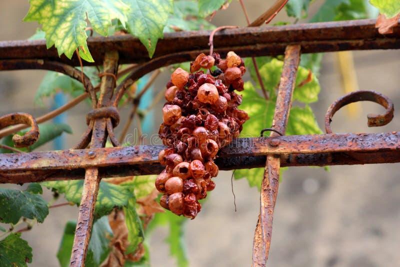 Зрелая группа виноградины с пустыми ягодами вися перед заржаветой загородкой утюга стоковые фотографии rf