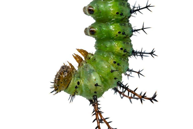 Зрелая гусеница Parthenos sylvia клипера подготавливает для pupation стоковые фотографии rf