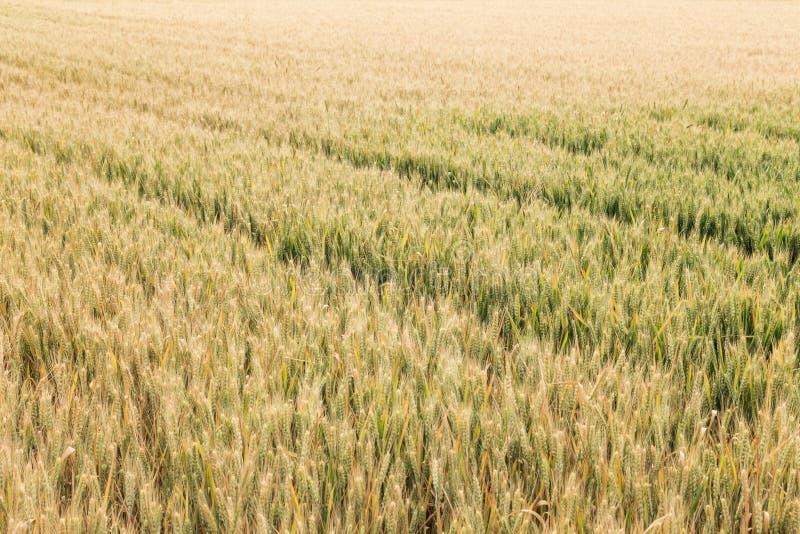 Зрелая пшеница в полях стоковое фото rf